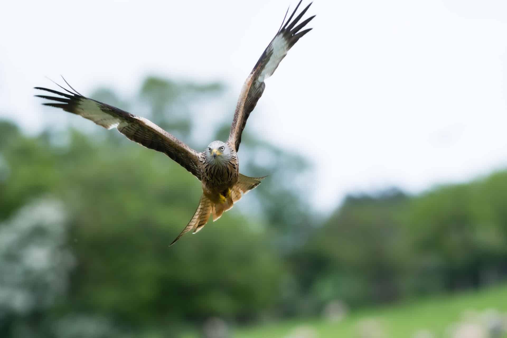 Bird of Prey - Red Kite