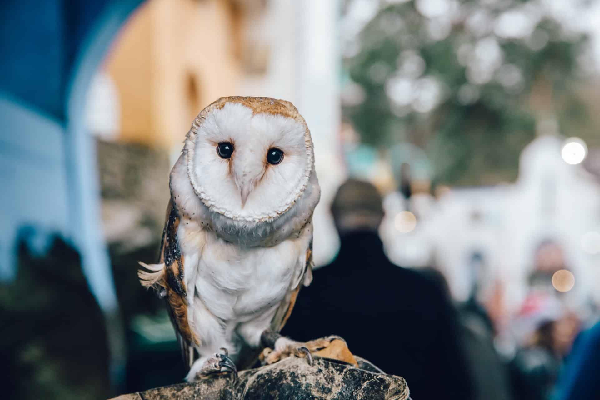 Bird of Prey - Barn Owl