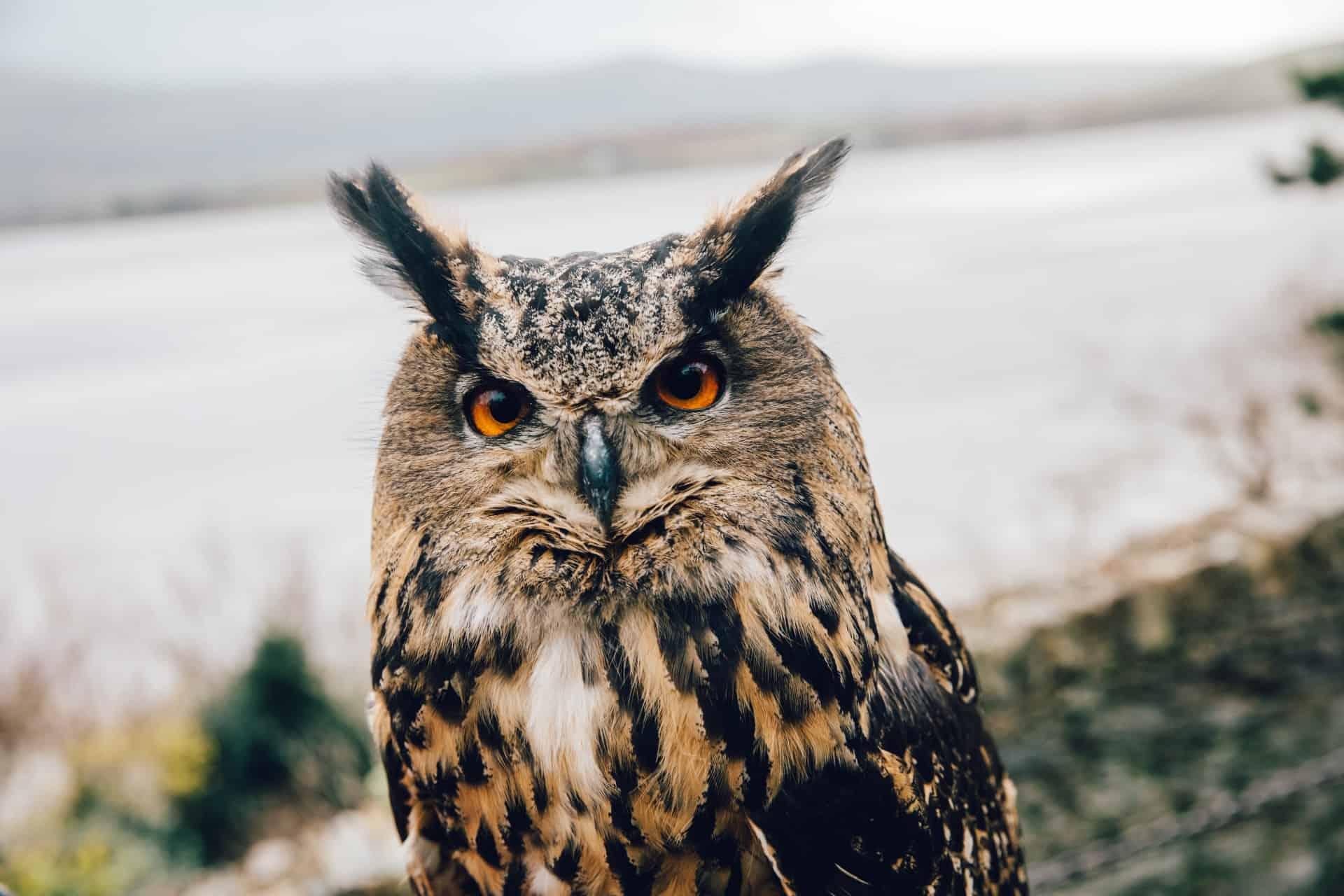 Bird of Prey - Eagle owl