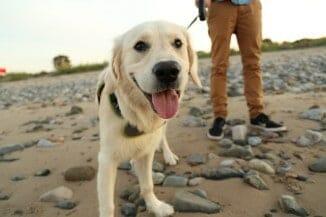 man walking dog on beach in wales