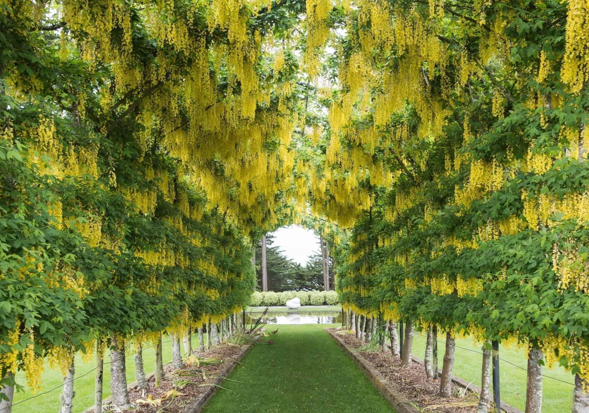 Laburnum Arch, Bodnant Gardens
