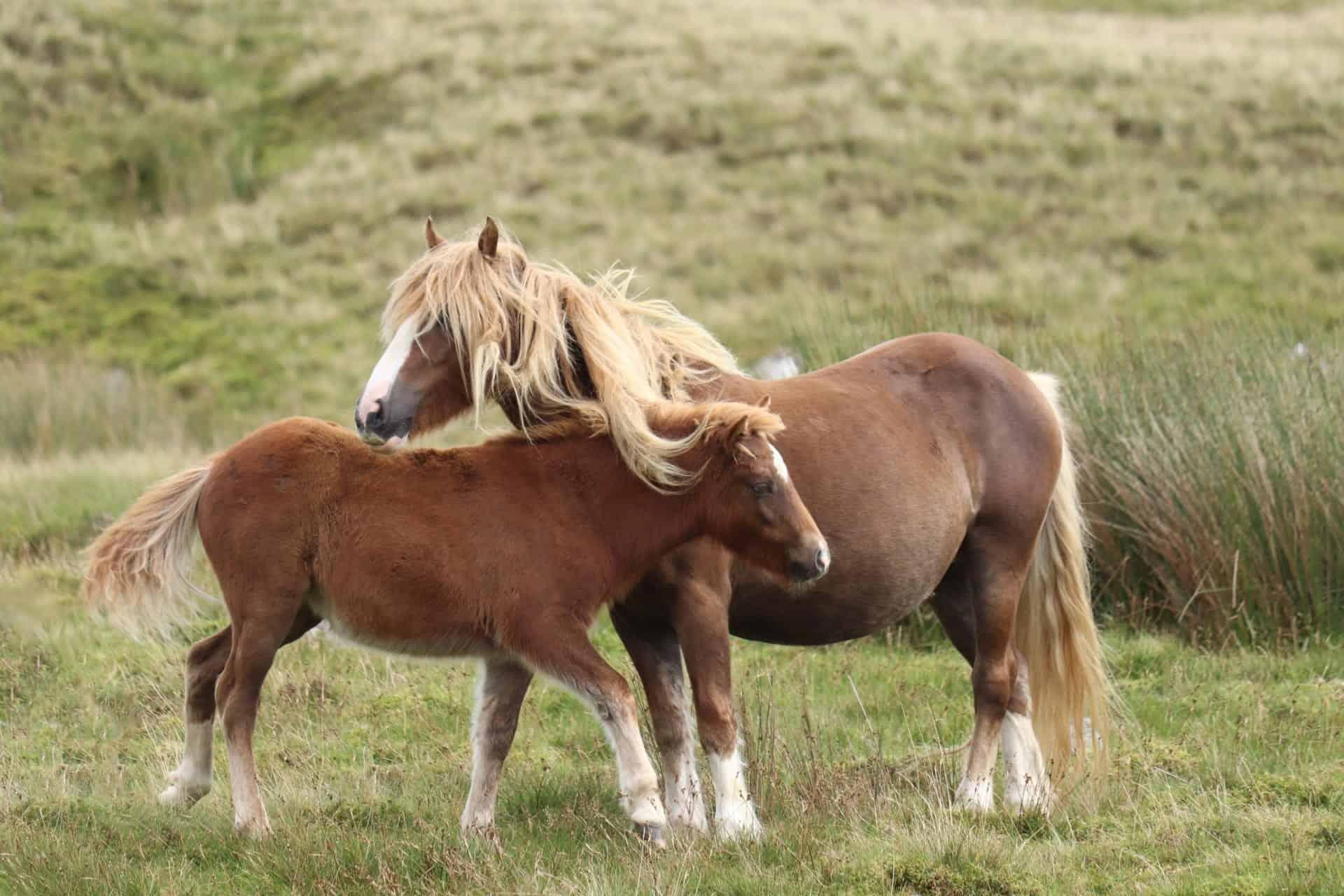 wild welsh mountain ponies brecon beacon