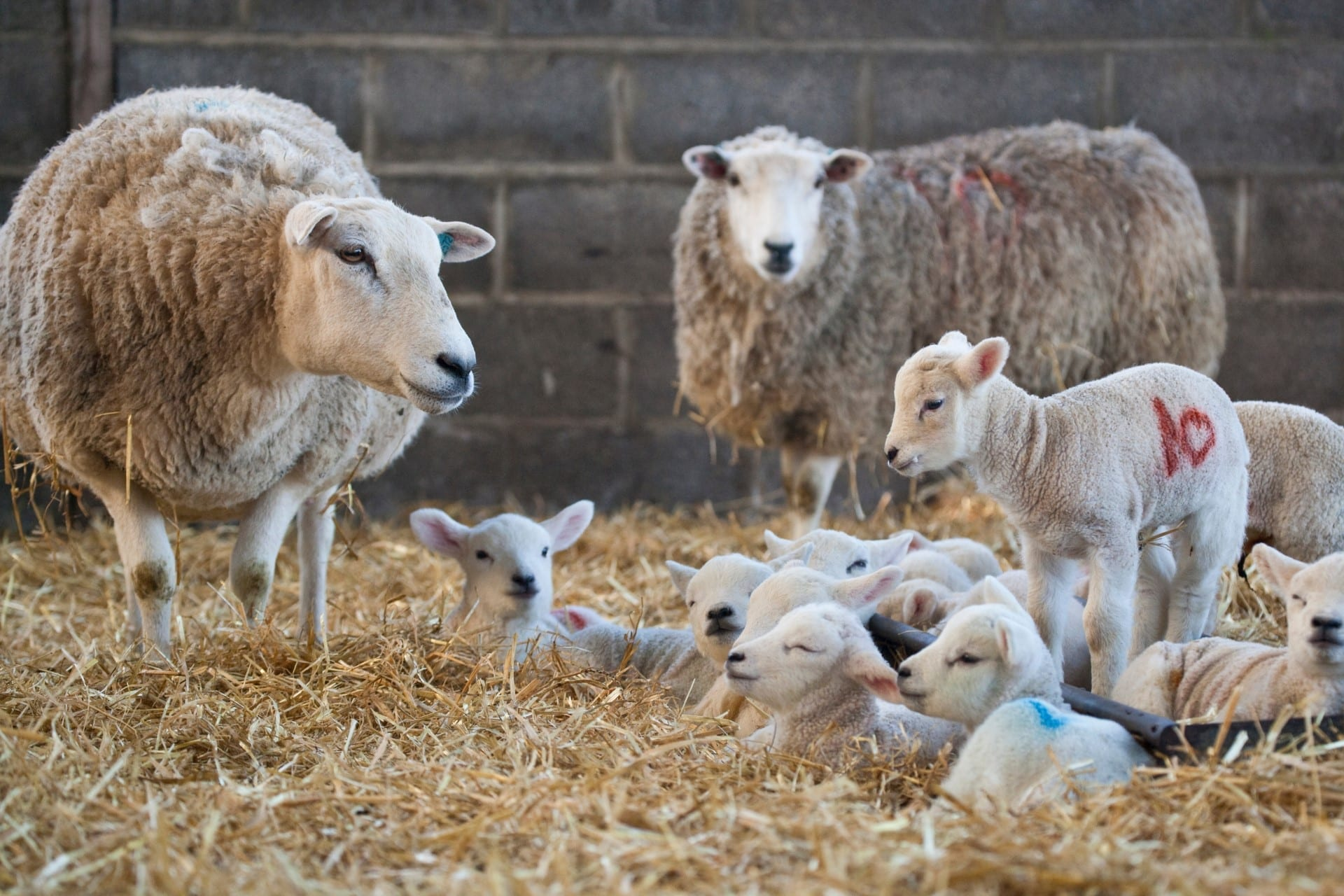 Sheep and Lambs relaxing in the Hay
