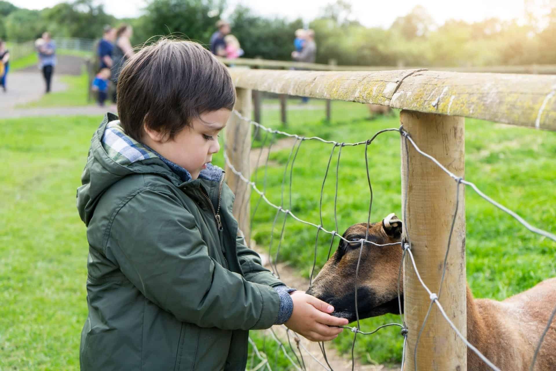 toddler boy feeding goats